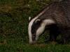 badger-02