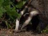 badger-07
