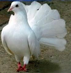 Fantail Dove (2)