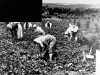 265-work : Strawberry picking on Chivers Farms, Haslingfield (1950)